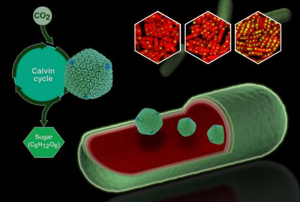 Illuminating the inner 'machines' that give bacteria an energy boost