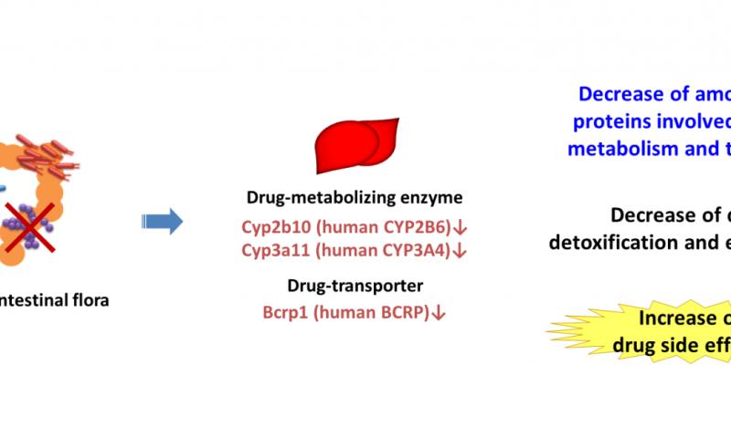 Intestinal flora effects drug response