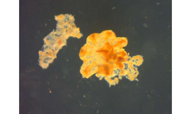 Jellyfish become unintended victims of oil spill mitigation