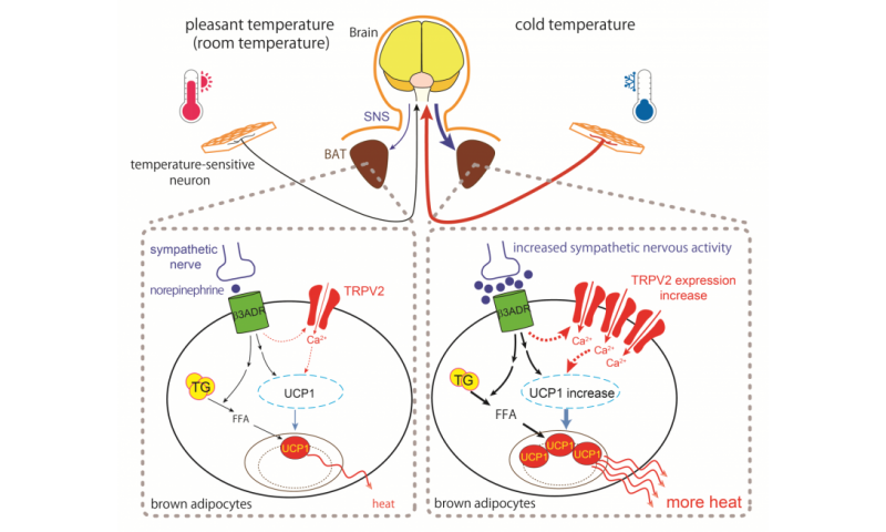 Lack of TRPV2 impairs thermogenesis in mouse brown adipose tissue
