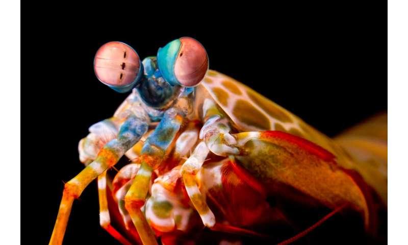 Mantis shrimp roll their eyes to improve their vision