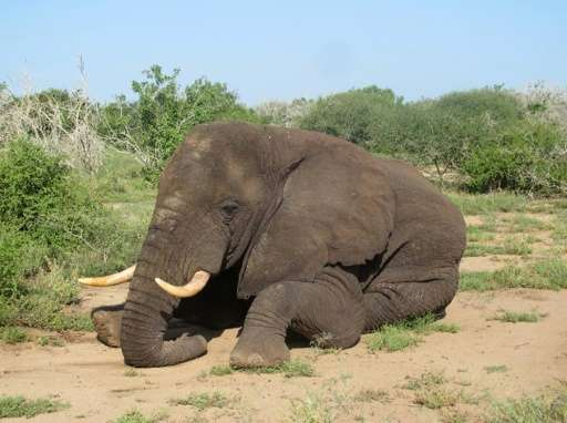 Morgan, a male bull elephant in his 30s, pictured around December 2015 when he was fitted with a tracking collar in Kenya's coas