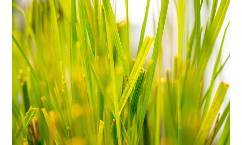 New grasses neutralize toxic pollution from bombs, explosives, and munitions