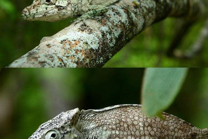 New lizard found in Dominican Republic