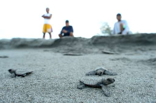 Olive ridley sea turtle hatchlings make their way to the water after they were released at a beach in Morong