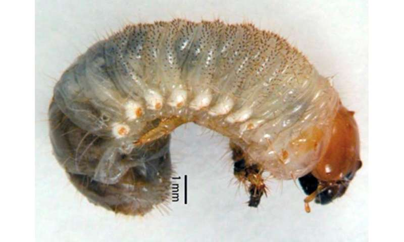 Open-access article on masked chafer grubs in turfgrass explains management techniques