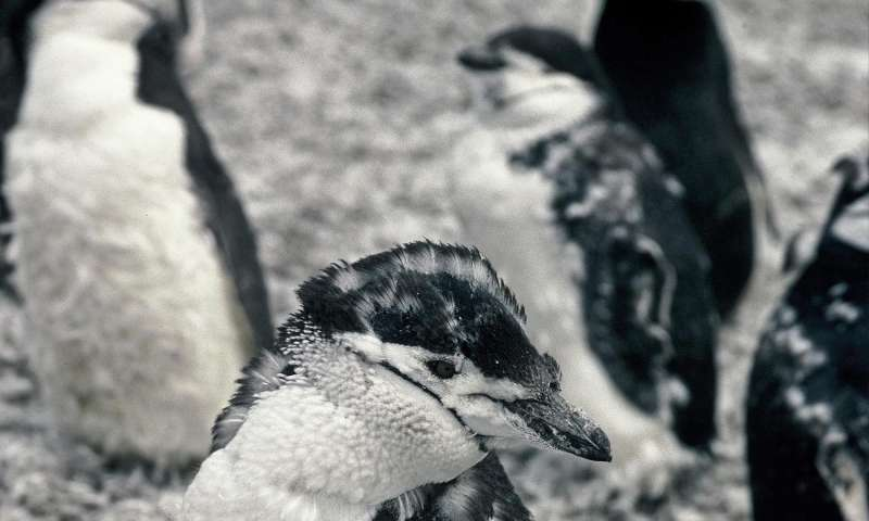 Penguin colonies at risk from erupting volcano