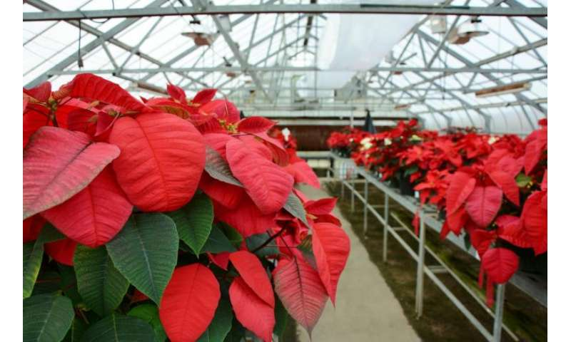 Poinsettia trial shows effect of high temperatures on plant growth and flowering