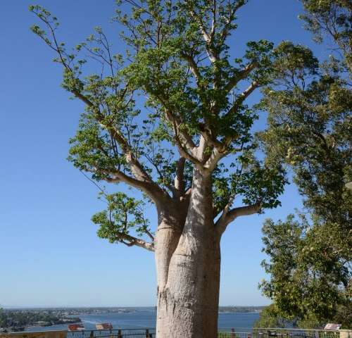 Popular boab tree is fighting fit