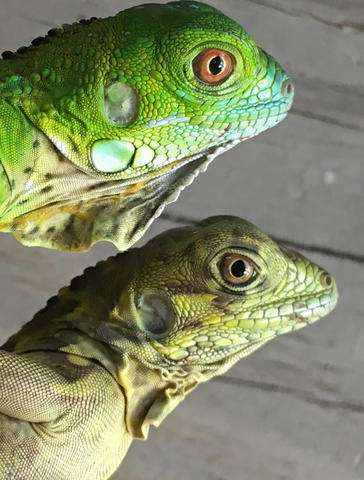 Possible hybrid threatens native iguanas in Cayman Islands