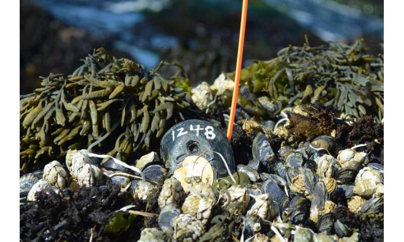 Researcher leads worldwide effort to build largest-ever database monitoring temperatures of intertidal systems