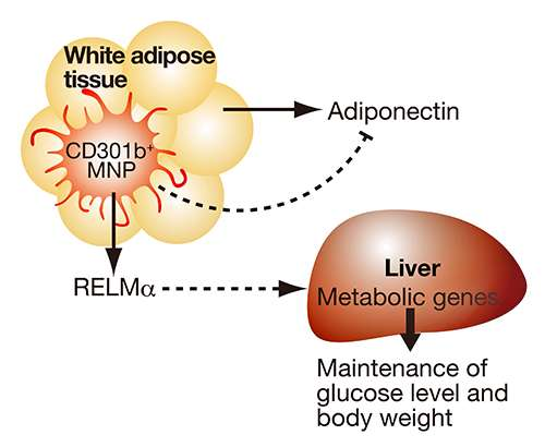 Research note: The immune system-body weight connection
