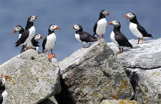 Scientists: puffins might spend the winter off of New Jersey