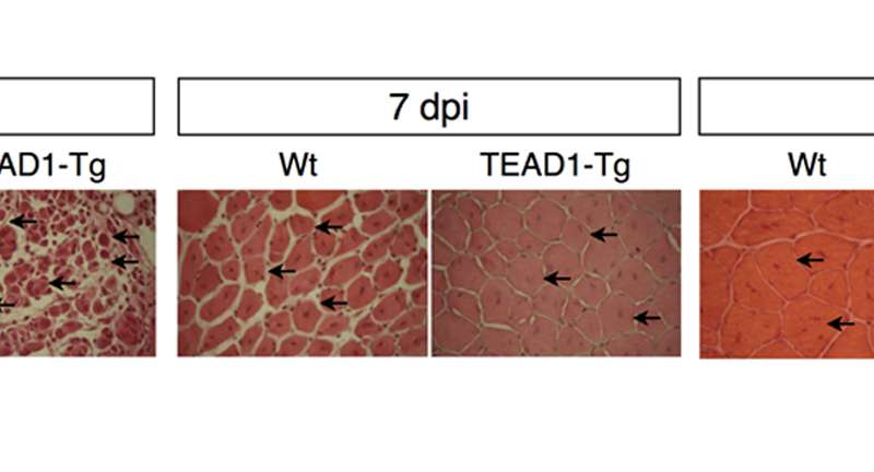 Scientists speed up muscle repair—could fight dystrophy