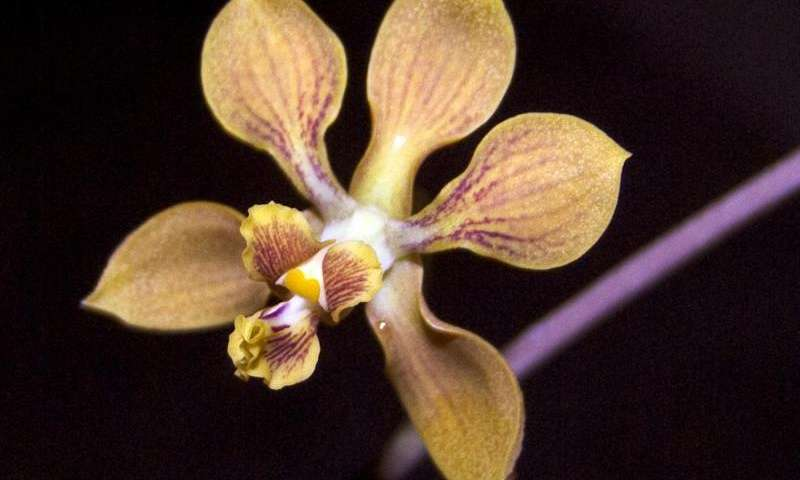 Serendipitous orchid: An unexpected species discovered in Mexican deciduous forests