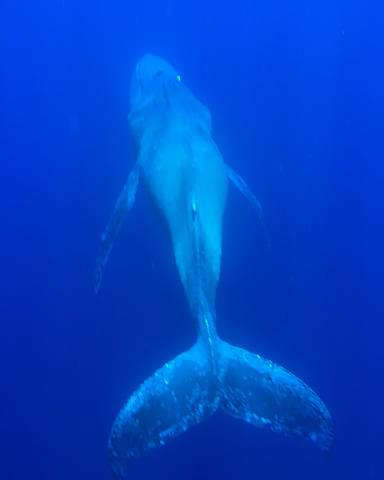 Sickly humpback whale spotted in Hawaii waters