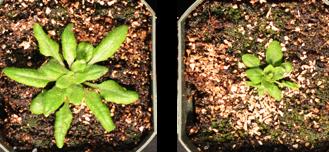 Single enzyme controls two plant hormones