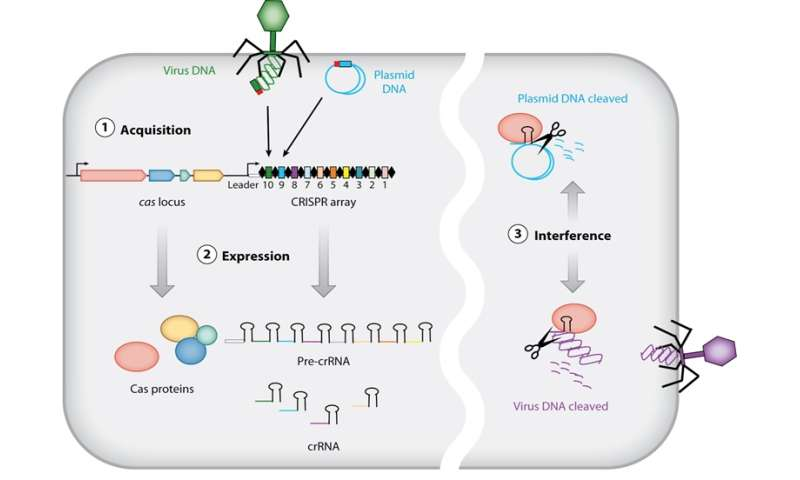 Some bacterial CRISPRs can snip RNA, too