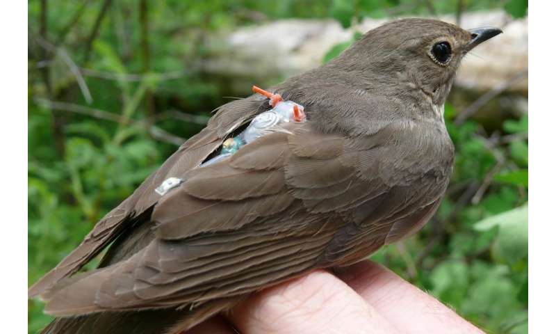 Songbirds' epic migrations connected to a small cluster of genes
