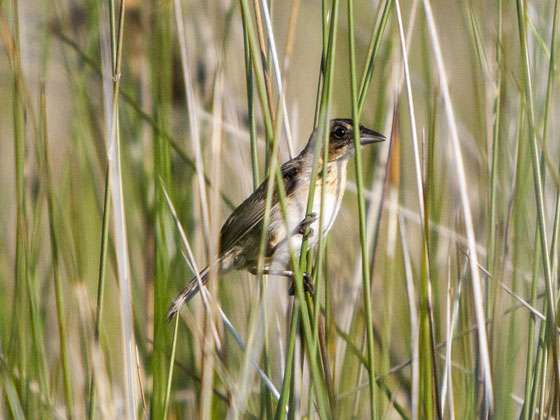 Study finds evidence of Deepwater Horizon oil in land-based birds