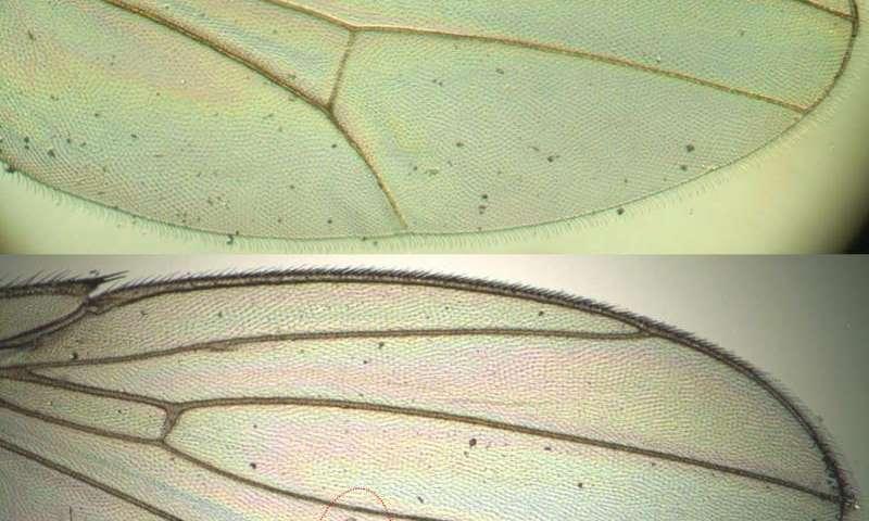 Study illuminates war between the sexes: Fruit fly edition