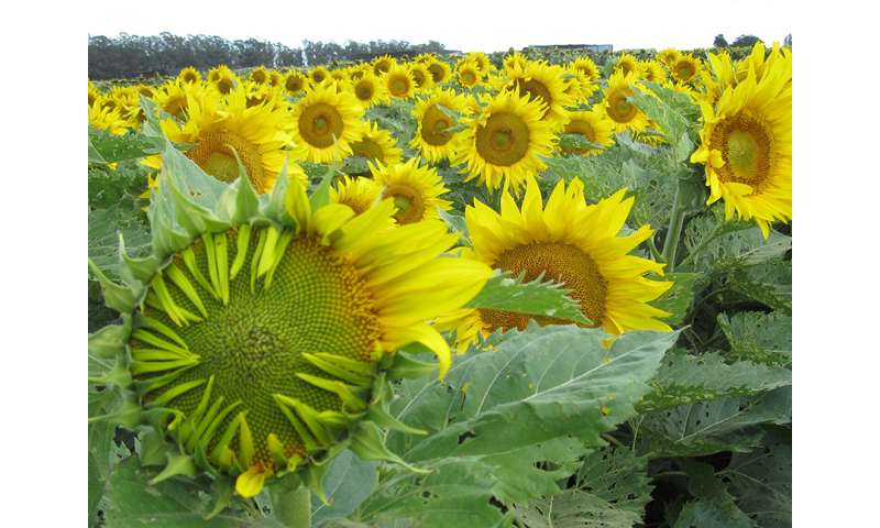 Sunflowers move from east to west, and back, by the clock