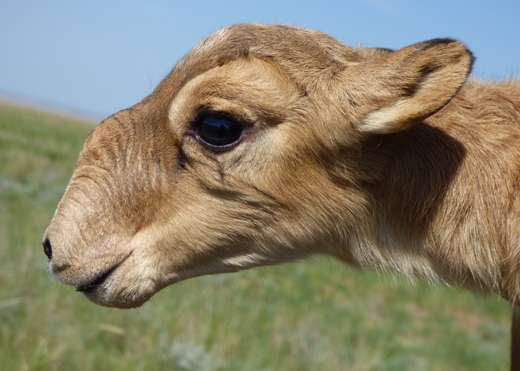 Surprising findings from research on saiga die-off