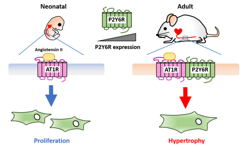 The age-related change of angiotensin receptor promotes hypertension