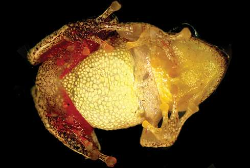The rain frog that turned into a Sleeping beauty is a new species from the Peruvian Andes