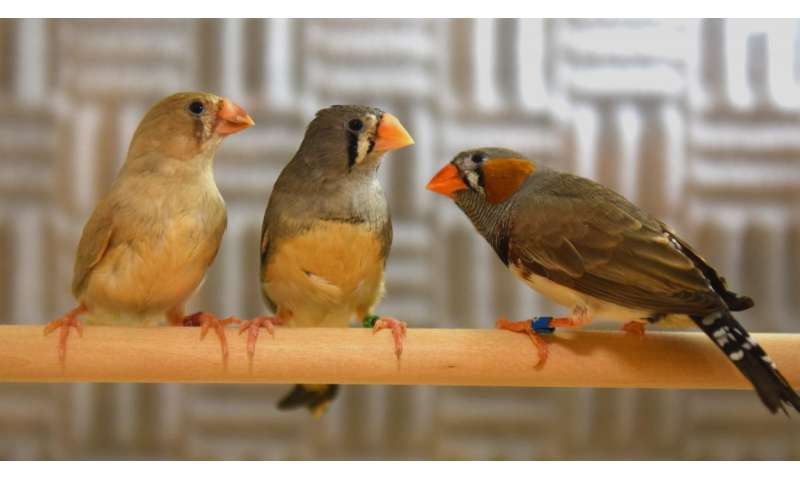The sound of music: How the songbird learns its melody