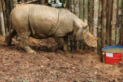 The Sumatran rhino will be airlifted by helicopter to a safer habitat on Borneo