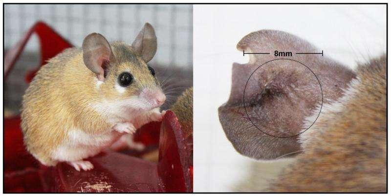 UK researchers one step closer to understanding regeneration in mammals