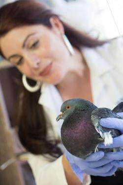 Using urban pigeons to monitor lead pollution
