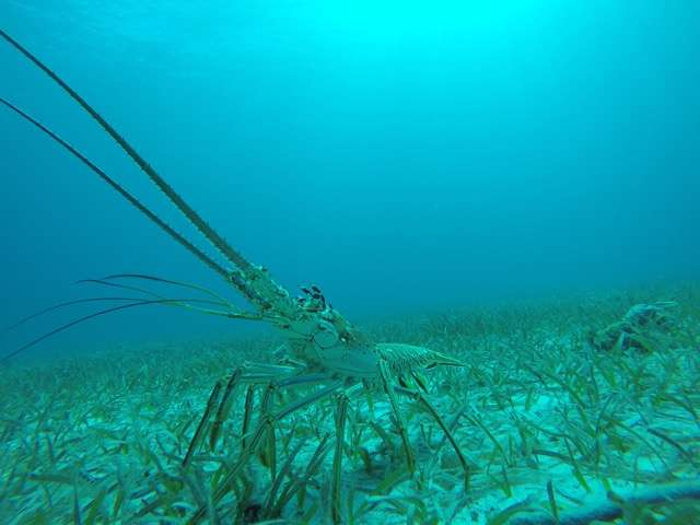Valuable Caribbean spiny lobsters get their food from an unexpected source