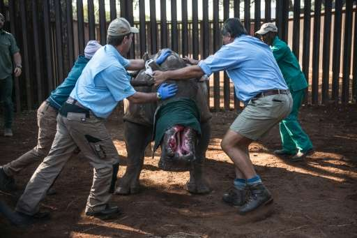 """Veterinarians try to control """"Hope"""" the rhino before they treat her after she was left with gaping wounds by poachers"""
