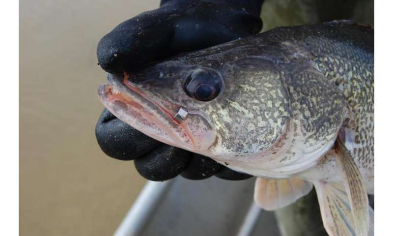 Walleye tagging project shows impact of anglers, Mother Nature