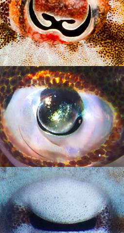Weird pupils let octopuses see their colorful gardens