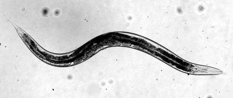 Worms point way toward viral strategies