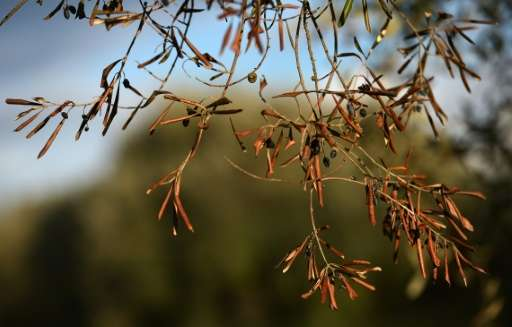 Xylella fastidiosa, first spotted in 2013, poses a serious threat to Italy's olive and orange groves and vineyards