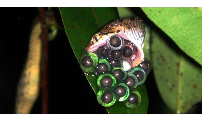 Discovery of a new mating position in frogs