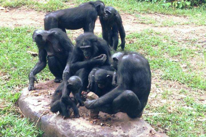 Research reveals bonobos skillfully cracking nuts with stone hammers like chimpanzees