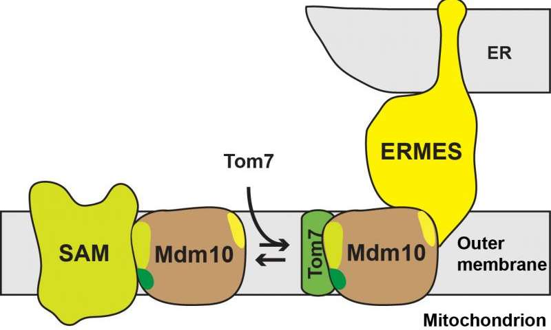 Researchers demonstrate how a molecular barrel structure serves various functions in the mitochondria