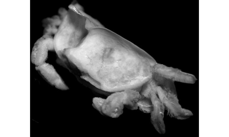 New species of pea-size crab parasitizing a date mussel has a name of a Roman god