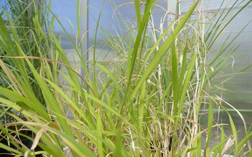 Research finds common grass could help boost food security