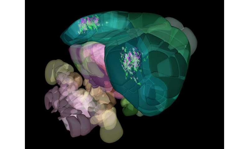 Allen Institute for Brain Science announces mapping of the mouse cortex in 3-D