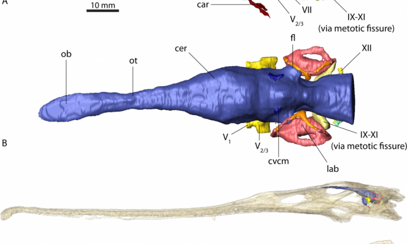 Brain anatomy convergence between crocodylians and their epic carnivorous cousins, the phytosaurs