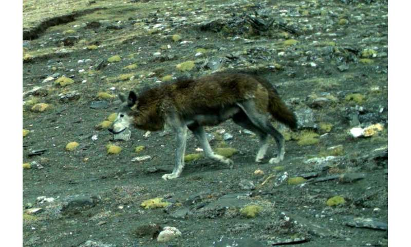 Critically endangered and ancient Himalayan wolf needs global conservation attention
