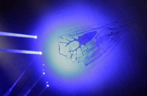 Cyborg stingray swims toward light, breaks new ground