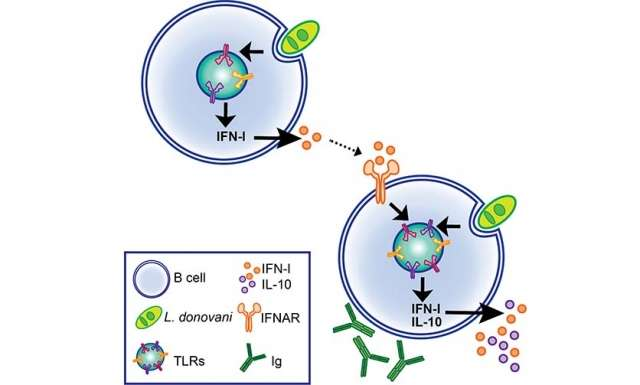 Discovery of mechanisms triggering excess antibody production during chronic infection