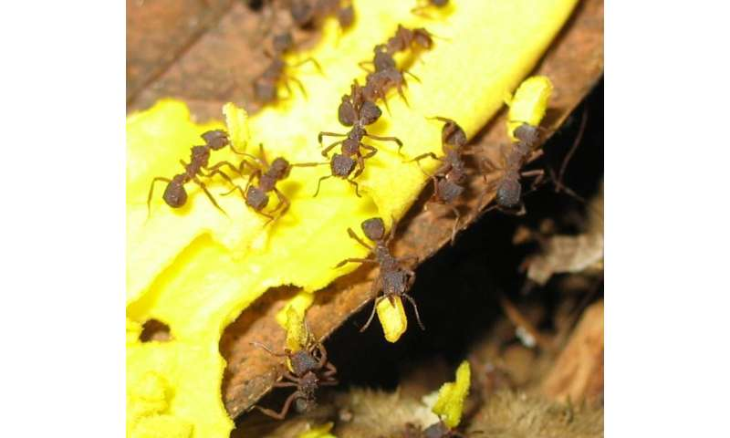 Dominant ant species significantly influence ecosystems